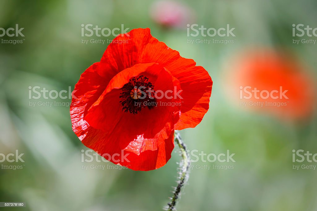 Pretty red flower with blurred background stock photo