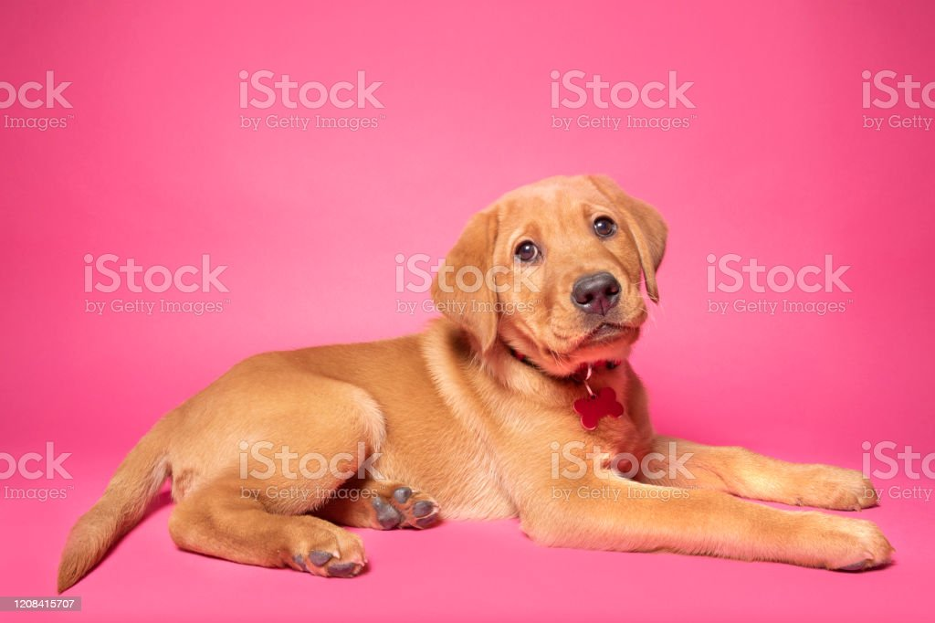 Pretty Red Fox Labrador Puppy On Pink Stock Photo Download Image Now Istock