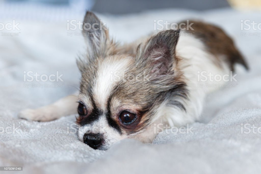 Pretty Sad Purebreed Chihuahua Puppy Dog On Grey Plaid Pets Friendly Hotel Or Home Room Animals Care Concept Stock Photo Download Image Now Istock