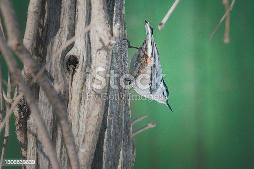 Sitelle perchée sur un arbre