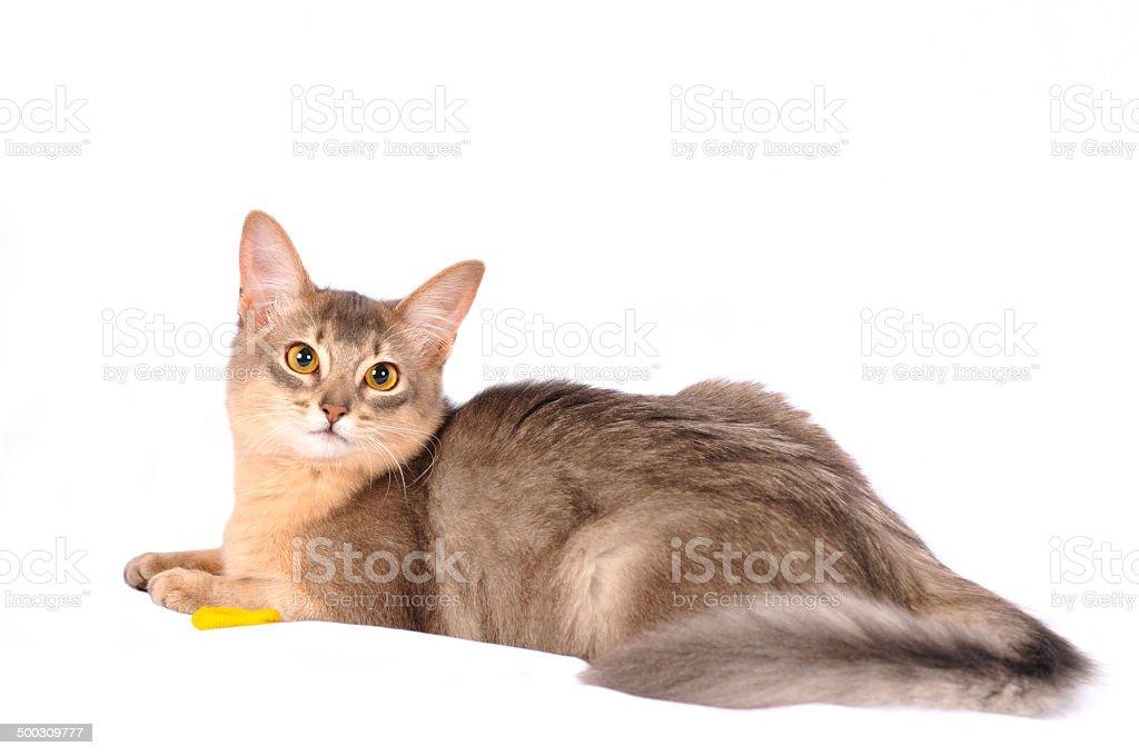 śliczny Kot Somalijski Na Biały Sofa Stockowe Zdjęcia I Więcej