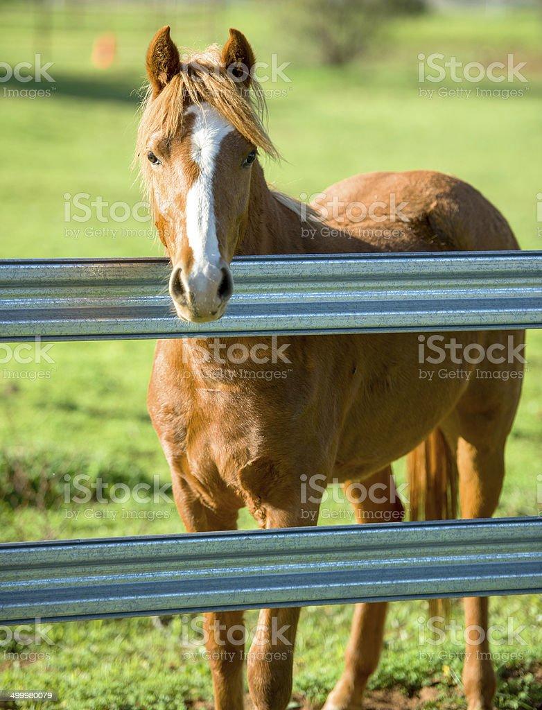 Pretty sorrel horse on farm stock photo