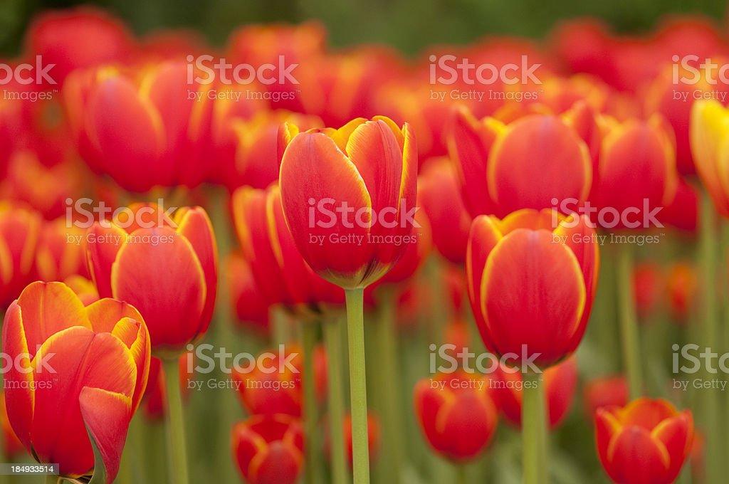Pretty springtime orange tulips royalty-free stock photo