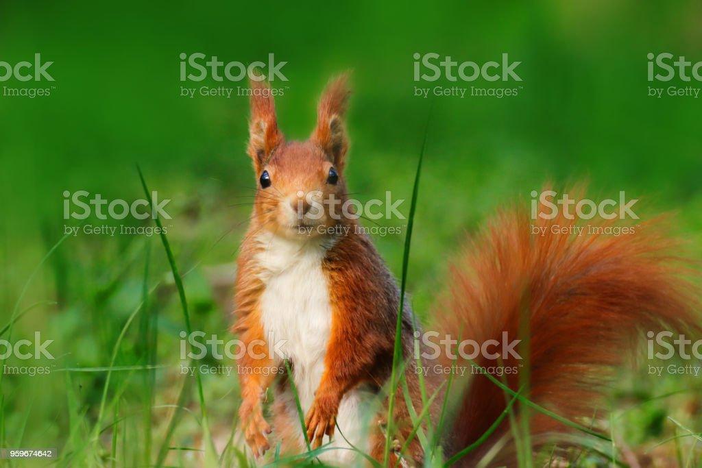 Pretty squirrel in grass in wild nature stock photo