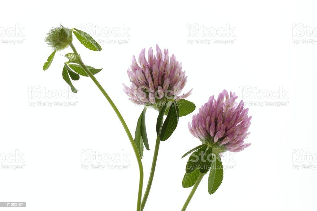 Hübsche Trifolium pratense – Foto