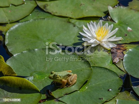 White water lilies and Bullfrogs are abundant in the ponds along the walking trails at Trustom pond national wildlife refuge in South Kingstown, Rhode Island
