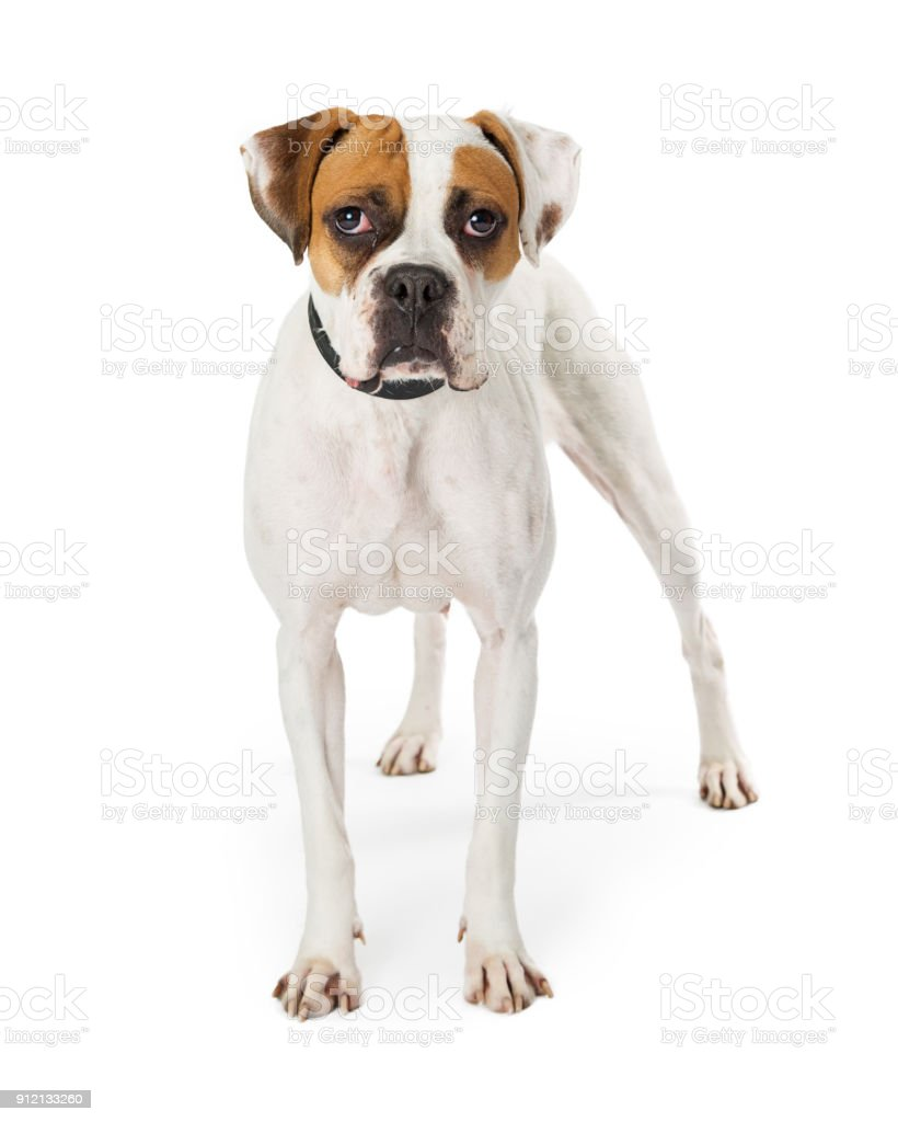 Pretty White And Brown Boxer Dog Stock Photo & More Pictures of ...