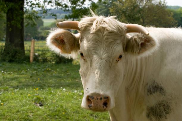 Pretty white cow stock photo
