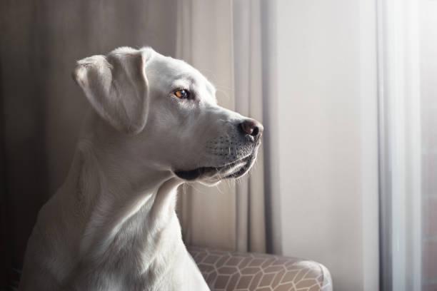 hübsche weiße Labrador Retriever Hund Welpe sieht aus dem Fenster in einer Wohnung – Foto