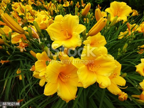 Photo of yellow day lily flowers in a spring garden during early june.
