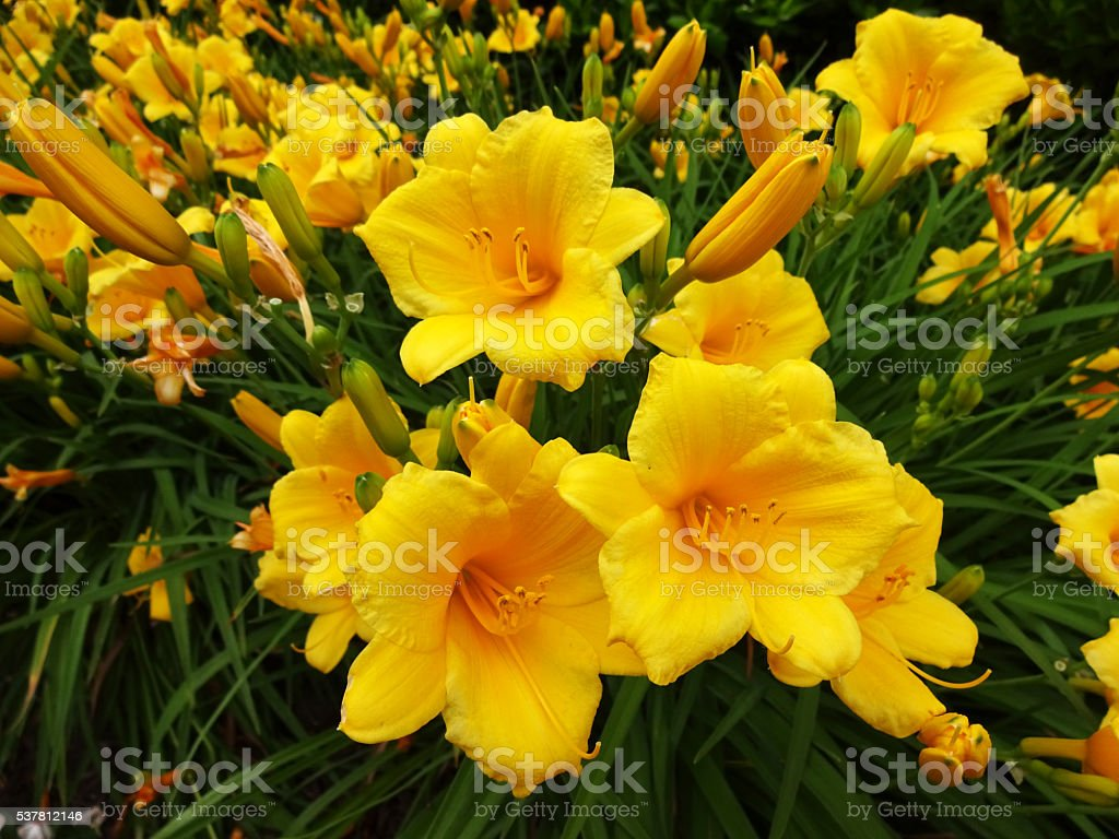 Pretty Yellow Day Lily Flowers stock photo