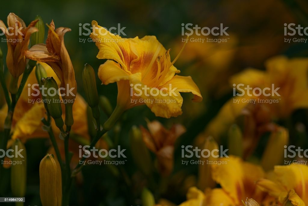pretty yellow flower, so proud stock photo