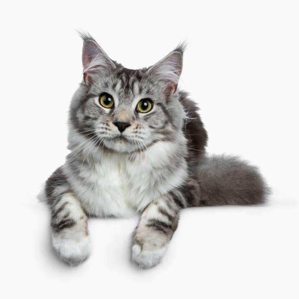 Pretty young adult black silver tabby maine coon cat laying down on picture id981903516?b=1&k=6&m=981903516&s=612x612&w=0&h=namamd s2tqtj8dnkm0uxtz 1kwbccoz qsx8r3 wd4=