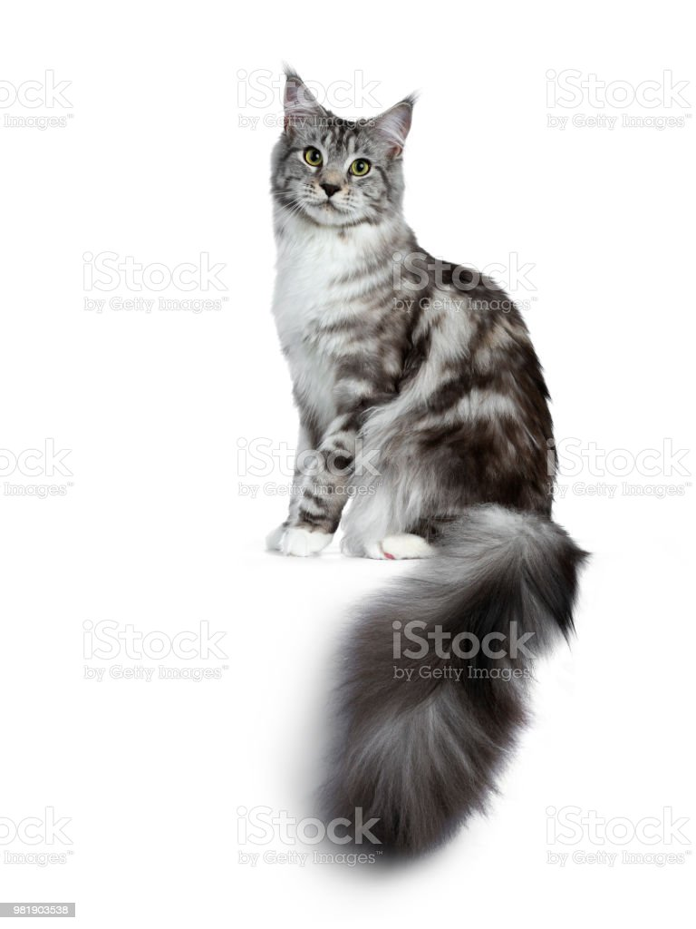 86c679bf0a Pretty young adult black silver tabby Maine Coon cat sitting side ways  isolated on white background