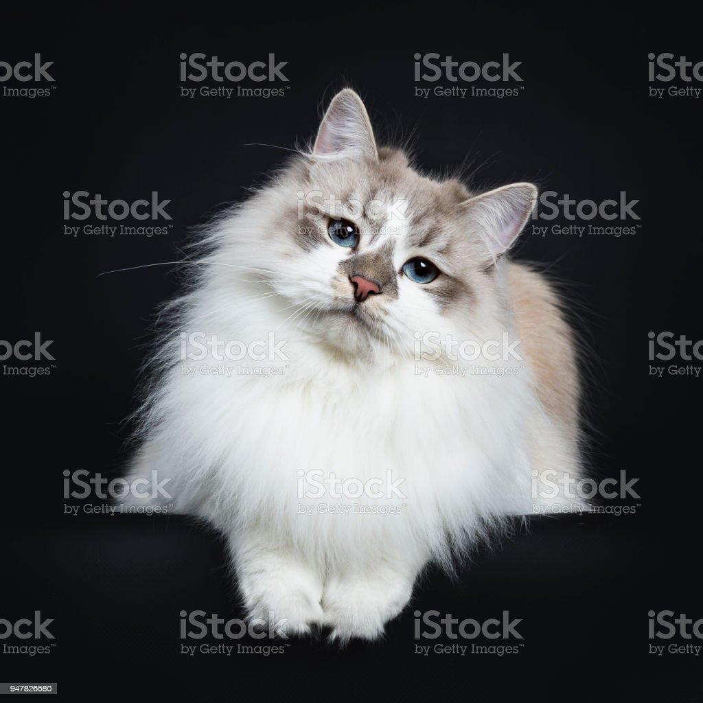 Mooie jonge volwassen blauw tabby point Neva Masquerade kat vaststelling geïsoleerd op zwarte achtergrond kijken camera met paws opknoping over rand foto