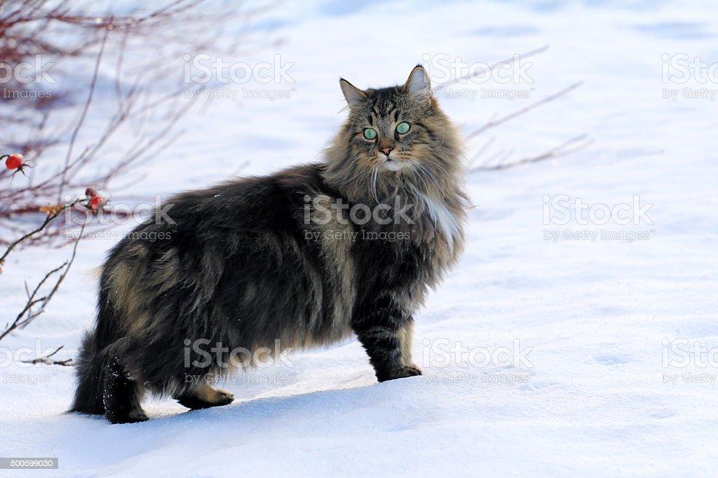 Hübsche junge Norwegische Waldkatze im Schnee – Foto
