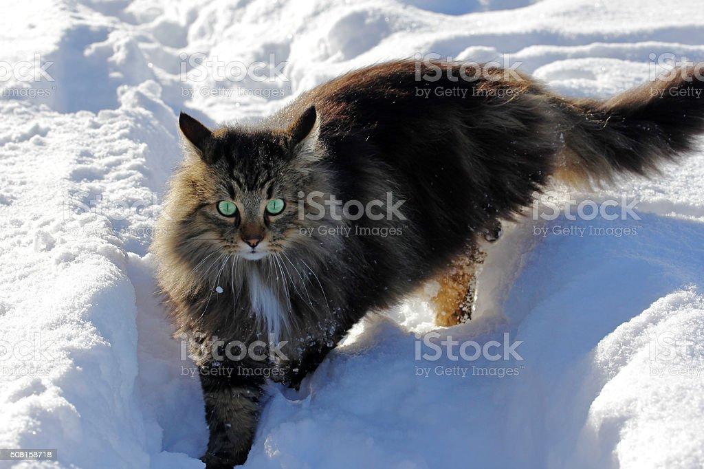 Bella Giovane Gatto Norvegese Delle Foreste Nella Neve Fotografie