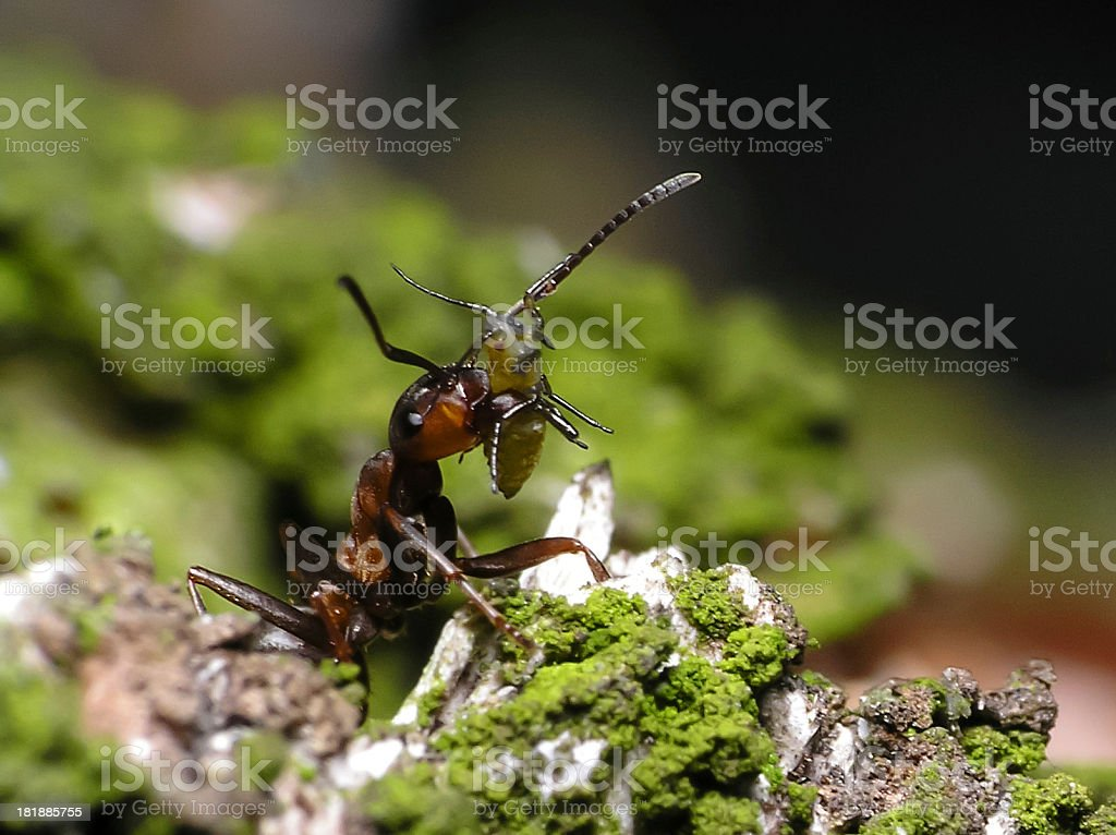 Preying Ant-Close up stock photo