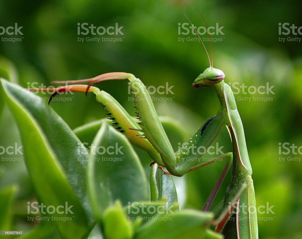 Preying Mantis stock photo