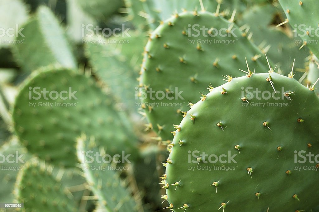 Prickley pear cactus stock photo