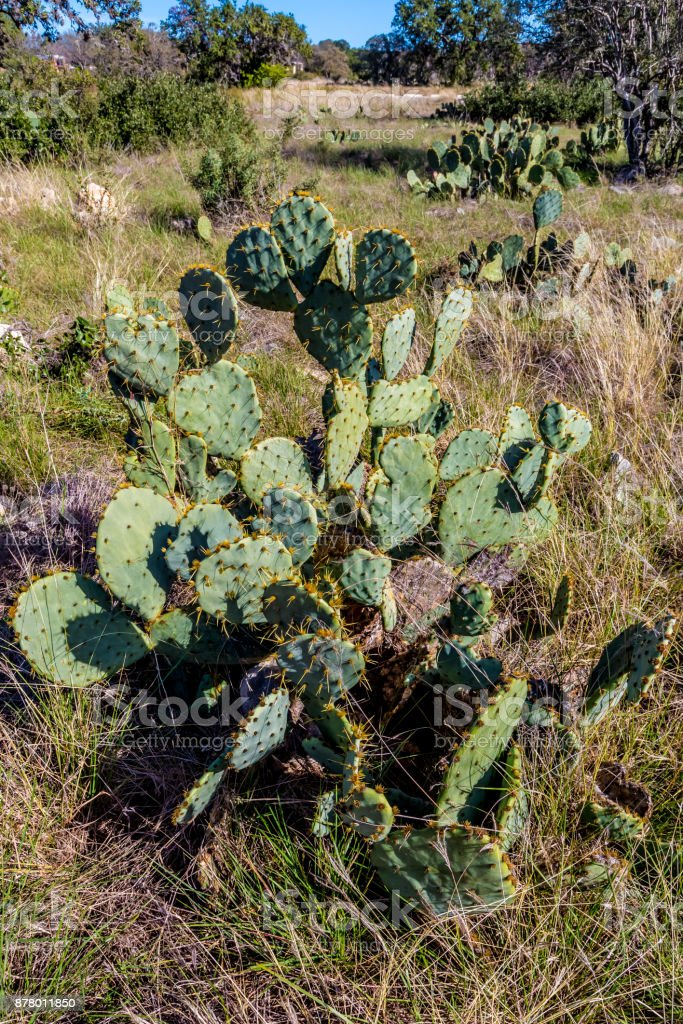Prickley Pear Cactus Plant stock photo
