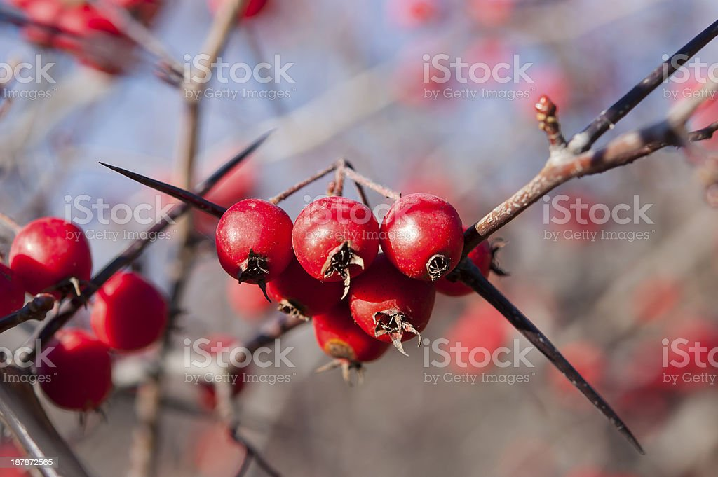 prickly Hawthorn - Crataegus oxyacantha stock photo