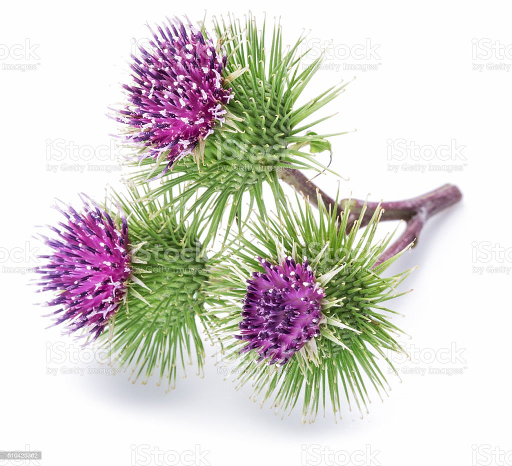 Prickly heads of burdock flowers. stock photo