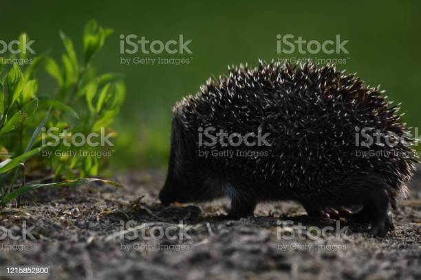 Photo of Prickly hedgehog mother with three young people looking for food on an evening walk between houses and streets of the city. Omnivore mammals active at night.