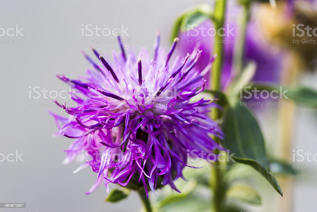 Prickly milk thistle in all its splendor stock photo