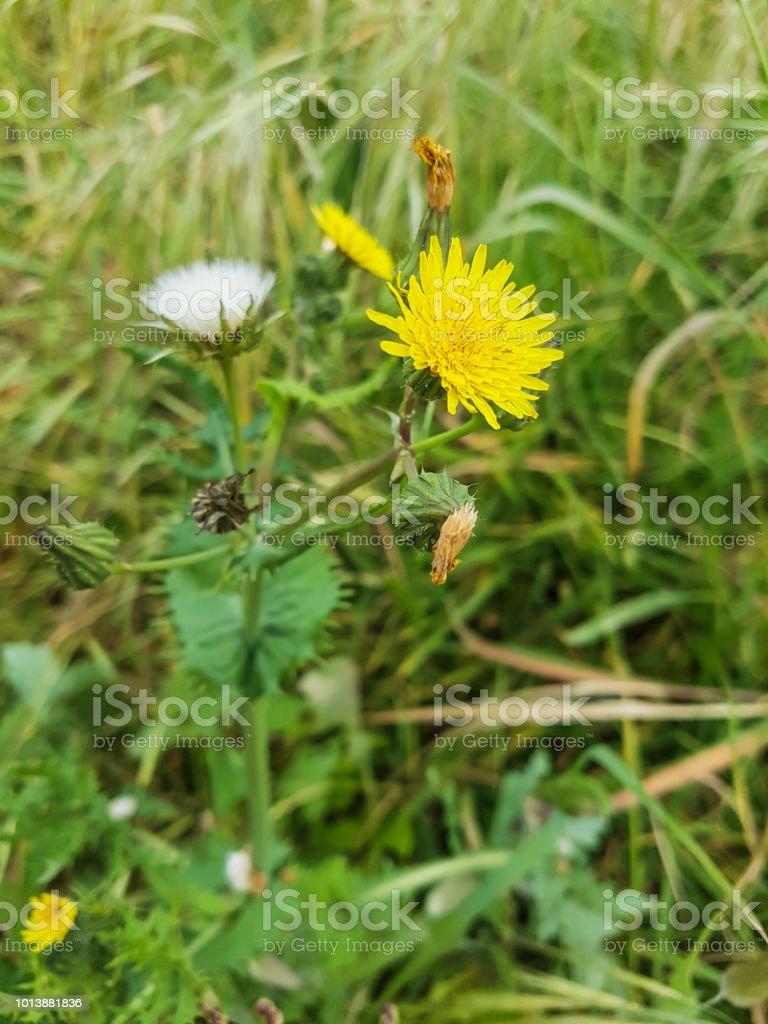 Thistle de la puerca espinoso o espinoso - foto de stock