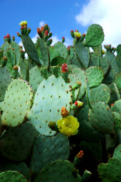 Prickly Pear Cacti with Yellow Flowers stock photo