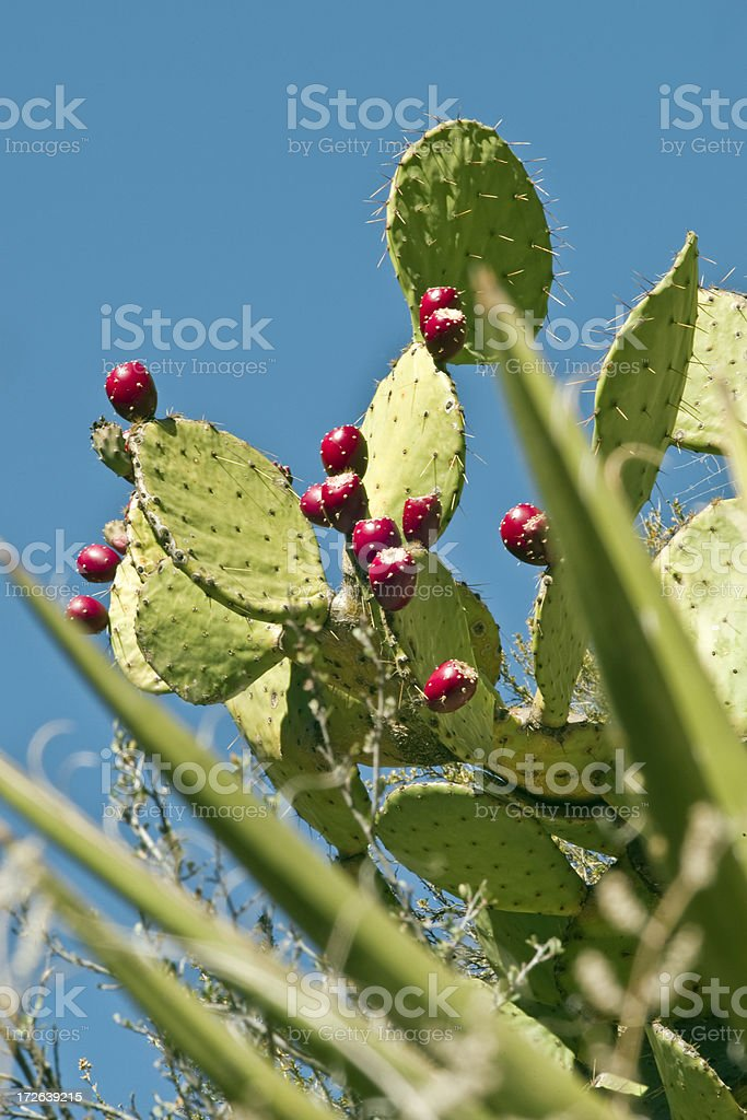 Prickly Pear Cactus and Fruit royalty-free stock photo