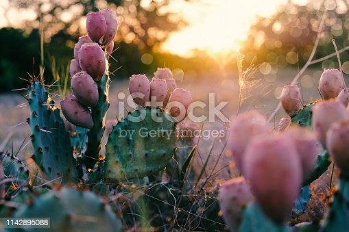 Closeup of prickly pear cactus and tuna fruit in Texas landscape with sunset in background.