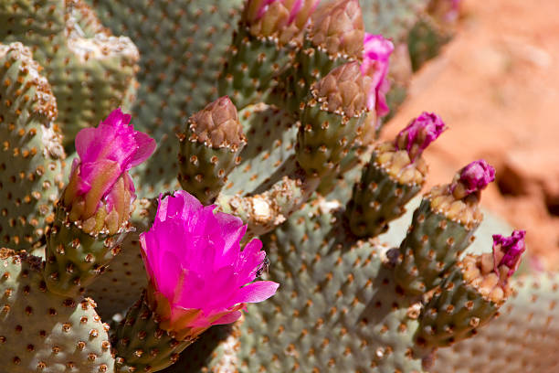 prickly pear cactus bloom - spring stock photos and pictures