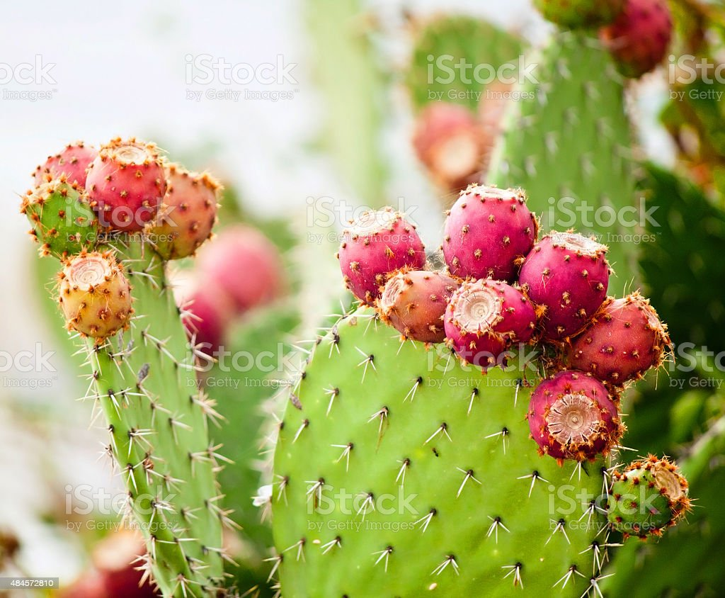 Prickly pear cactus close up with fruit in red color