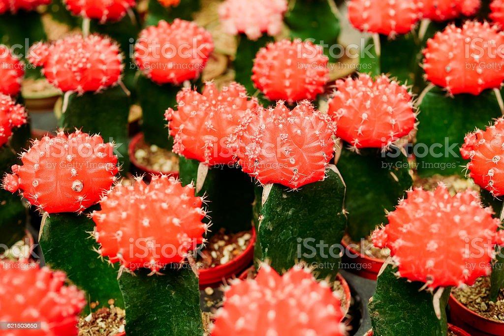 Figuier de Barbarie Gros plan de couleurs avec des fruits rouges photo libre de droits