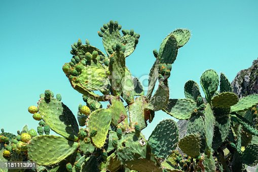 Close up cactus fruit plants with blue background