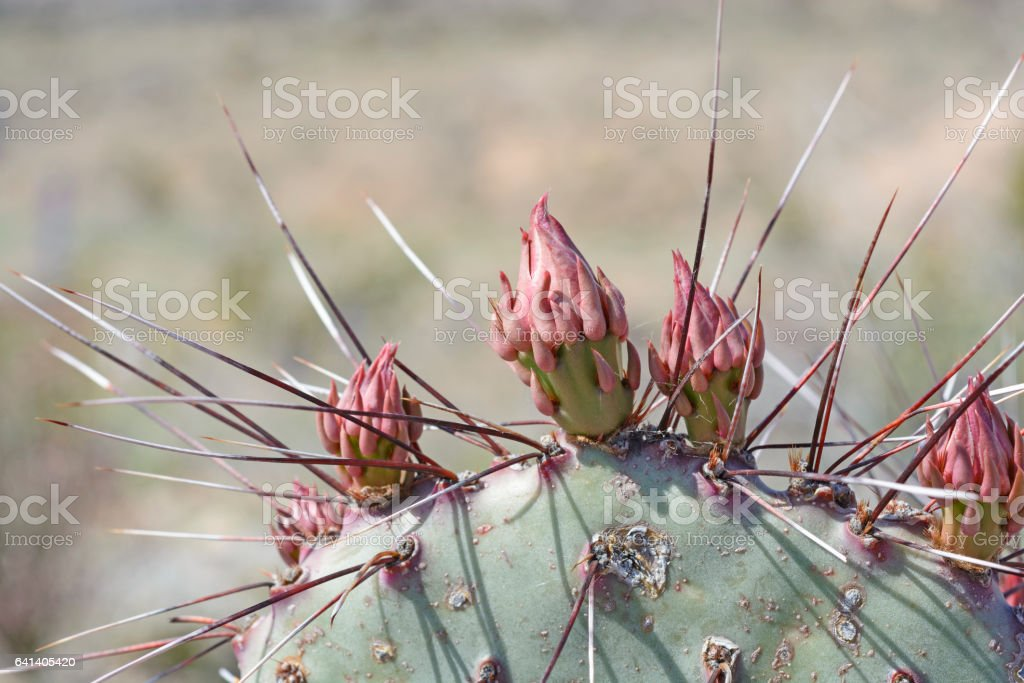Prickly Pear Cactus Flower details stock photo