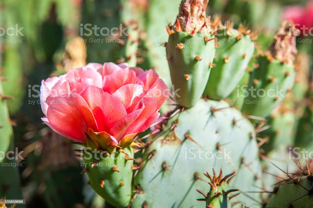 Prickly Pear Cactus Flowering stock photo