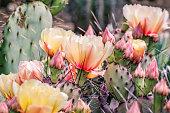 Prickly Pear (Opuntia fragilis) cactus flowers, California