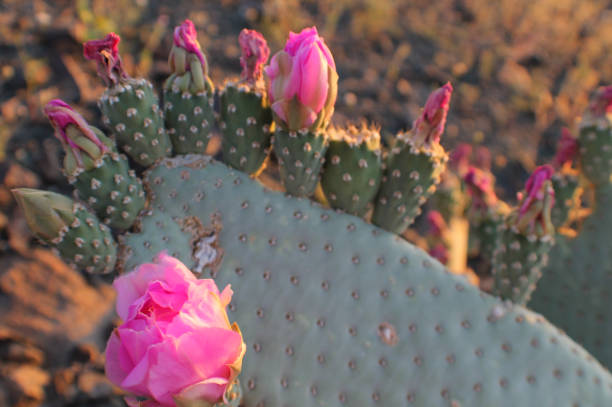 prickly pear cactus flowers in bloom stock photo