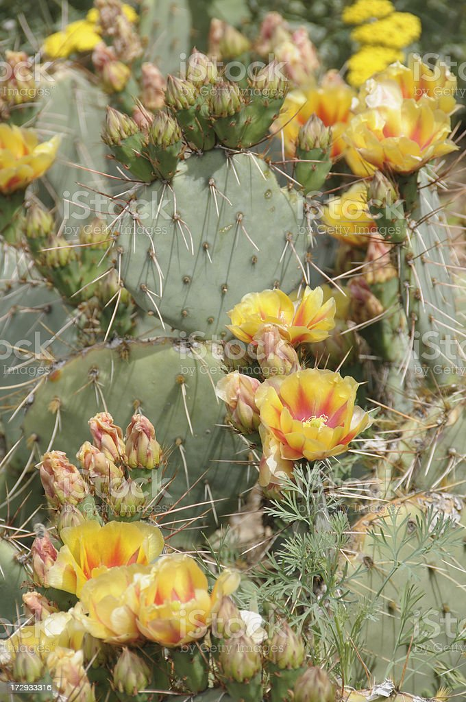Prickly Pear Cactus Flowers royalty-free stock photo