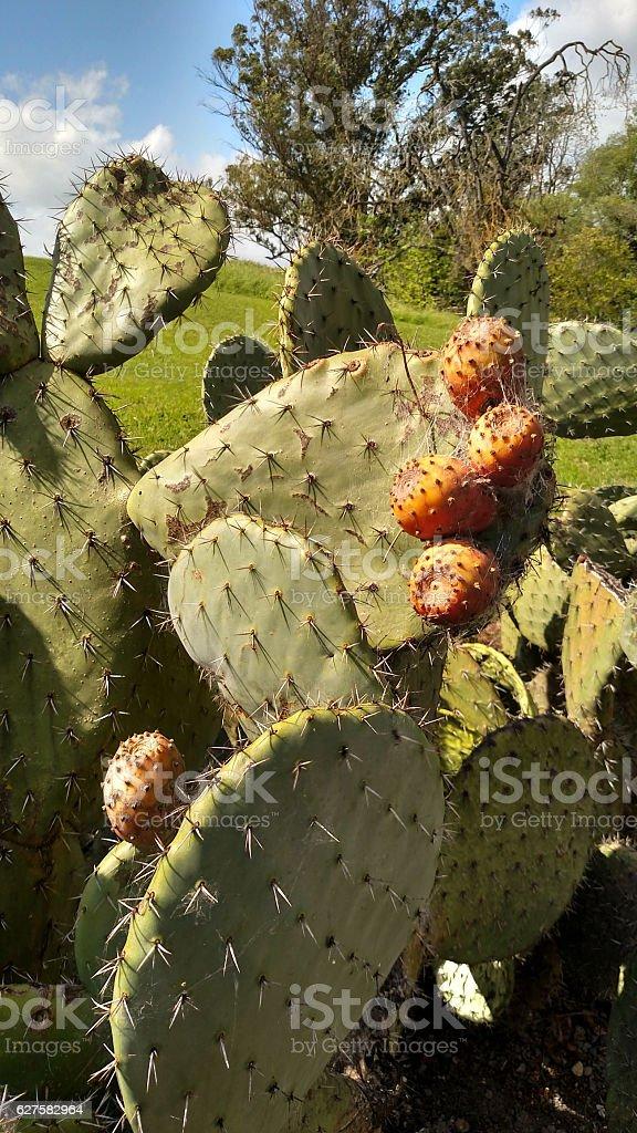 Prickly Pear Cactus fruit Petaluma Adobe State Park California stock photo