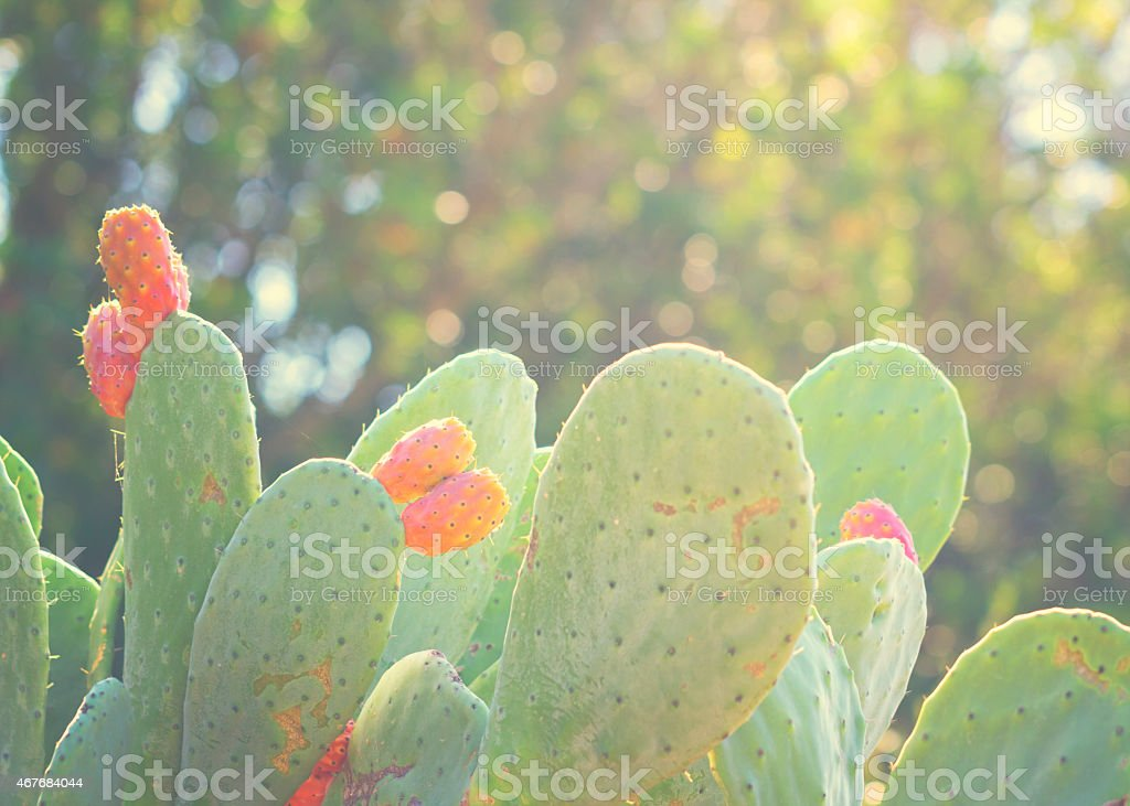 Prickly Pear Cactus Fruits in Sardinia Italia stock photo