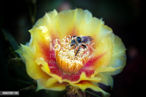 Prickly pear cactus in full bloom.  A honey bee gathers pollen from the blooms.