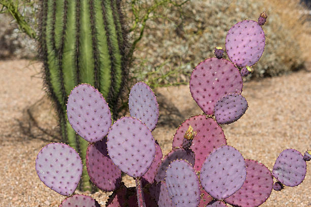 Prickly Pear Cactus in the Desert stock photo