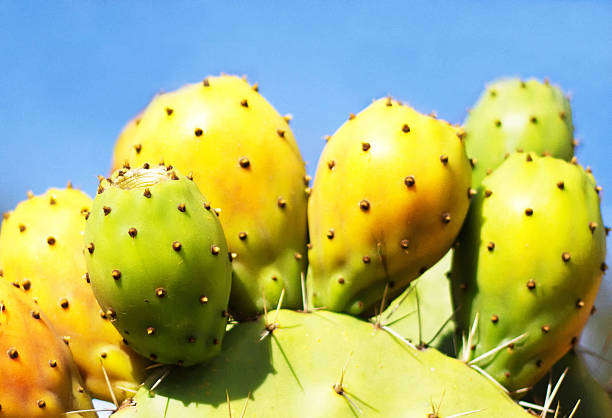 prickly pear cactus leaf with fruit, pastel blue sky (close-up) - kaktusfrucht stock-fotos und bilder