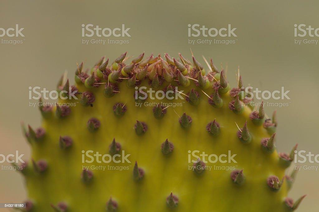 Prickly pear cactus, Opuntia, pad stock photo