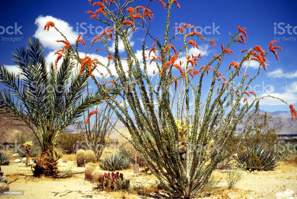 Prickly Pear cactus palm tree and Ocotillo in bloom in spring at Anza-Borrego State Park California stock photo
