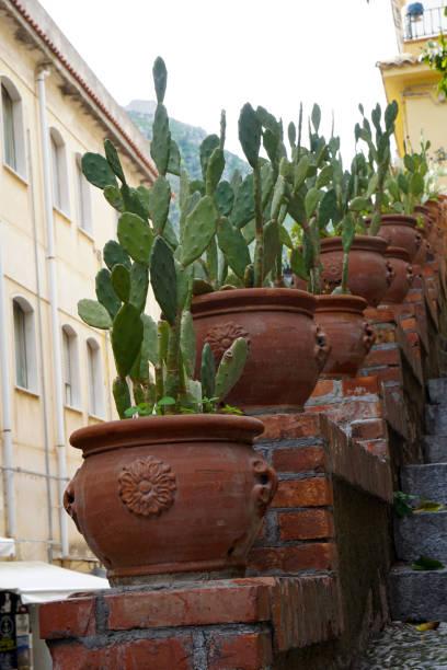 cactus de pera espinosa - opuntia robusta fotografías e imágenes de stock